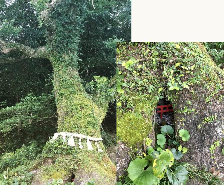 立磐神社(宮崎県日向市)の御神木